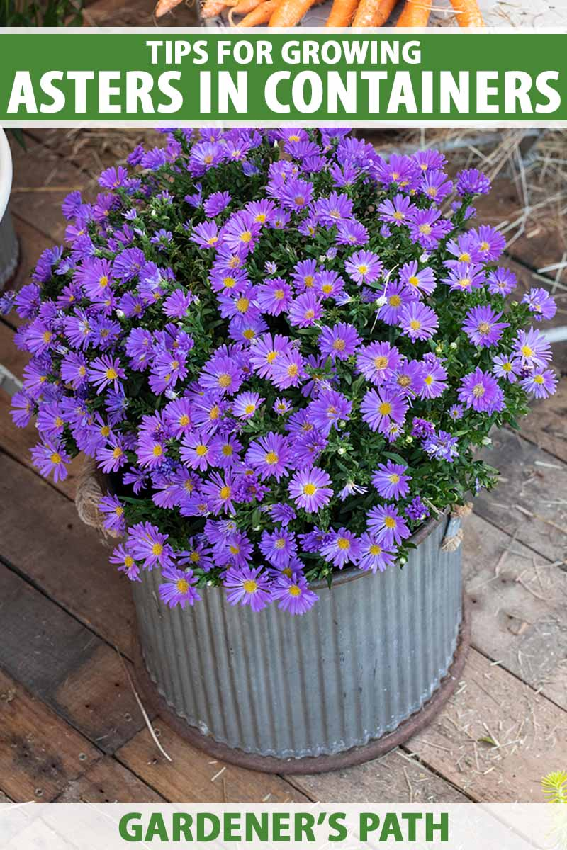 A close up vertical image of purple asters growing in a metal pot set on a wooden surface. To the top and bottom of the frame is green and white printed text.