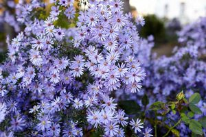 7 Tips for Pruning Perennial Asters