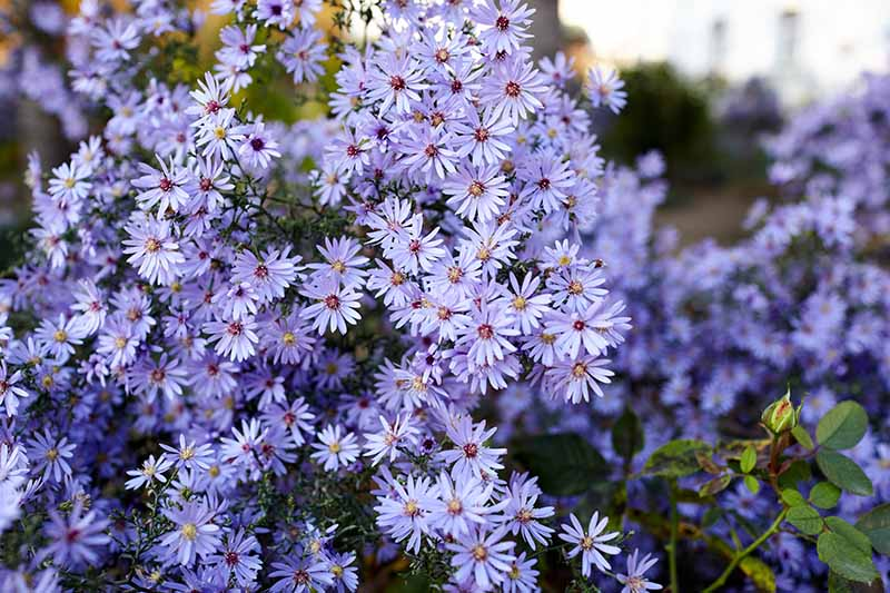 A close up horizontal image of light blue perennial asters growing in the garden pictured on a soft focus background.