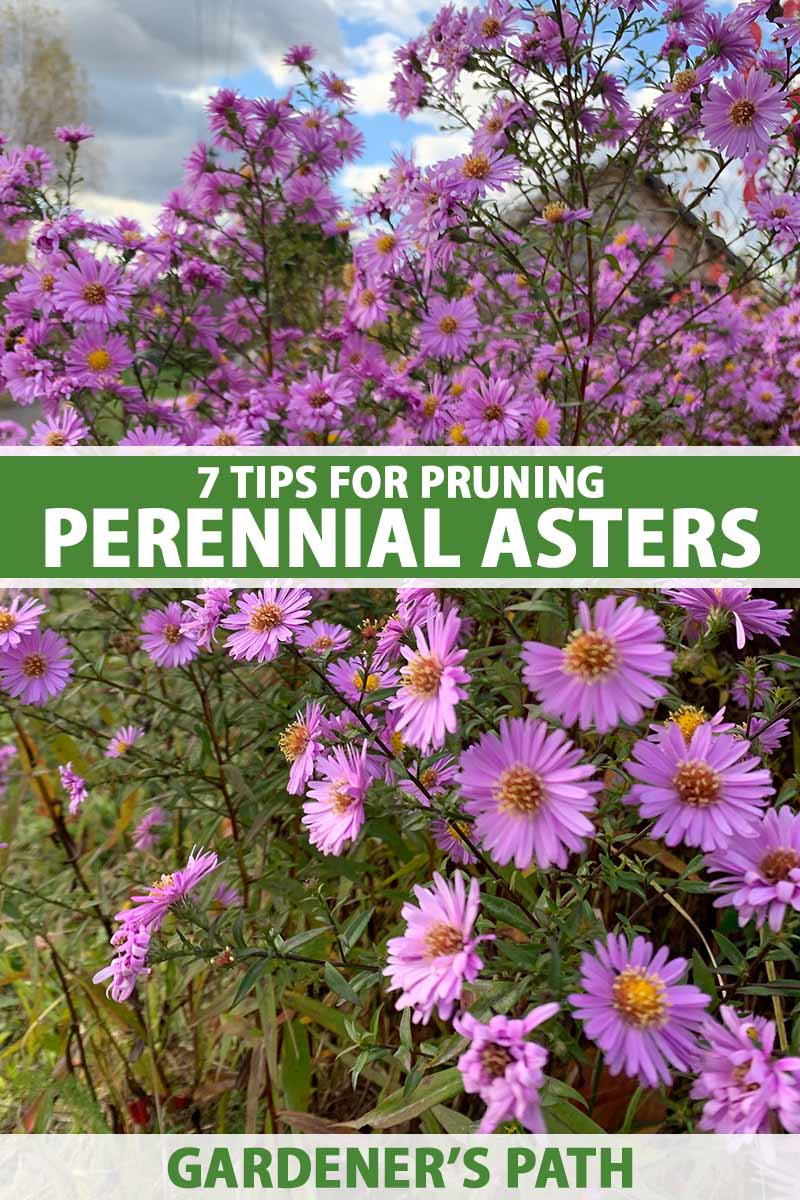 A close up vertical image of bright pink perennial asters growing in the late summer garden. To the center and bottom of the frame is green and white printed text.