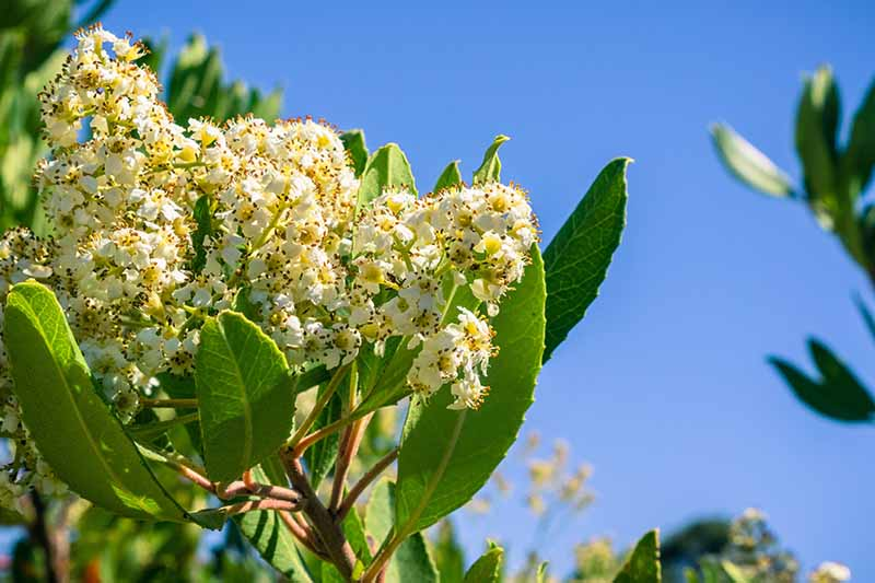 A close up horizontal image of the white flowers of California holly (Heteromeles arbutifolia) pictured on a blue sky background.