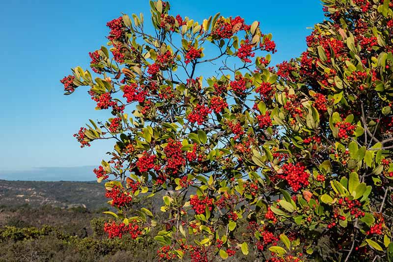 A horizontal image of a large toyon shrub (Heteromeles arbutifolia) growing wild on a blue sky background.