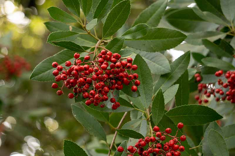 A close up horizontal image of the bright red berries of toyon (Heteromeles arbutifolia) with light green foliage growing in the garden.