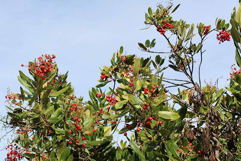 A horizontal image of a toyon shrub growing in the landscape pictured on a blue sky background.