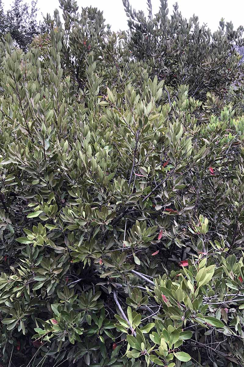 A close up vertical image of a California holly shrub (Heteromeles arbutifolia) growing in the garden.