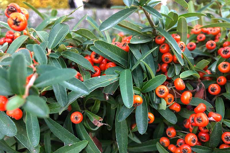 A close up horizontal image of the bright red berries and dark green foliage of California holly (Heteromeles arbutifolia) growing in the garden.