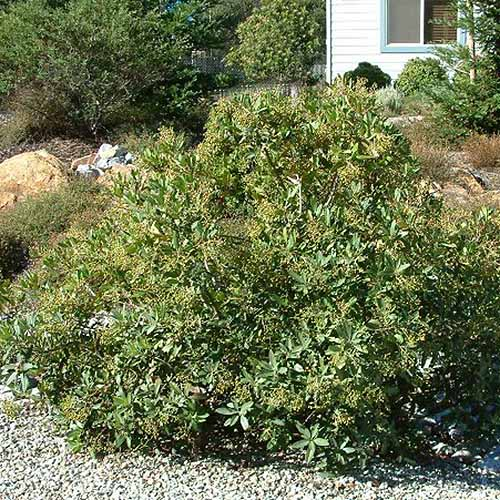 A close up square image of a small toyon shrub growing in front of a residence.