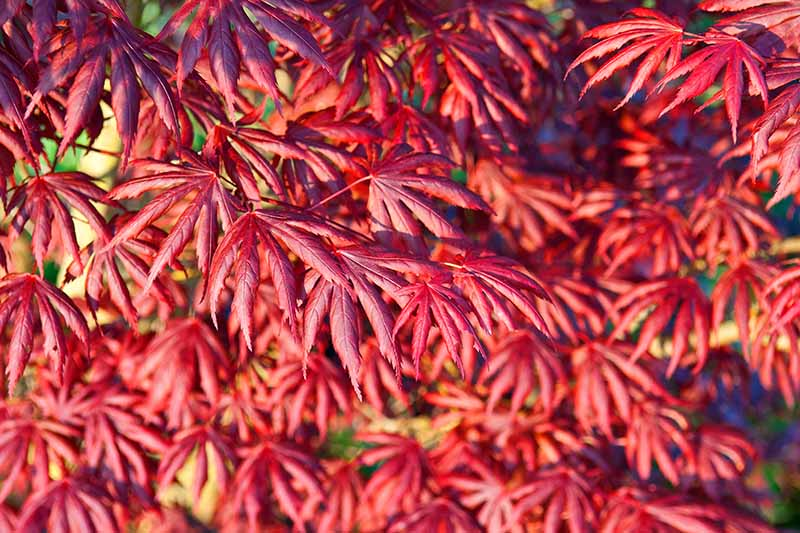 A close up horizontal image of the bright red fall foliage of Acer palmatum 'Trompenburg' pictured in light sunshine.