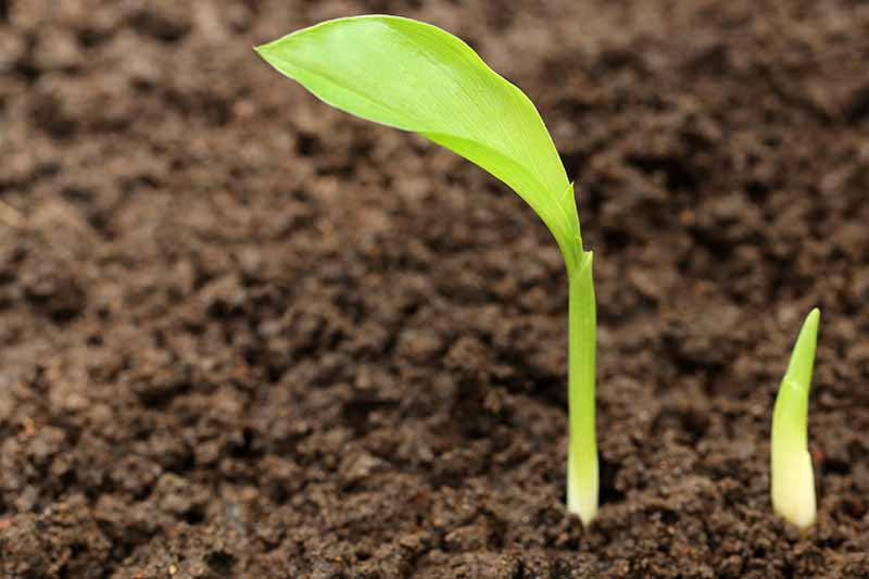 A close up horizontal image of small sprouting turmeric leaves growing in rich soil.