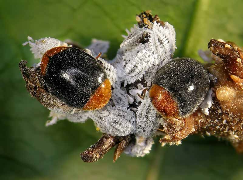 A close up horizontal image of two ladybug beetles feeding on cotton mealybugs pictured on a soft focus background.