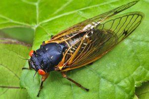 The Magic of Periodical Cicadas and How to Prevent Garden Damage