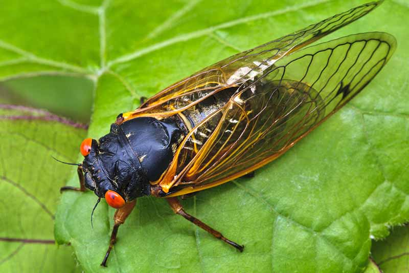 A close up horizontal image of a periodical cicada resting on a green leaf.