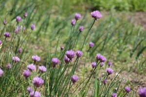What Are Wild Chives and What Can I Do with Them?