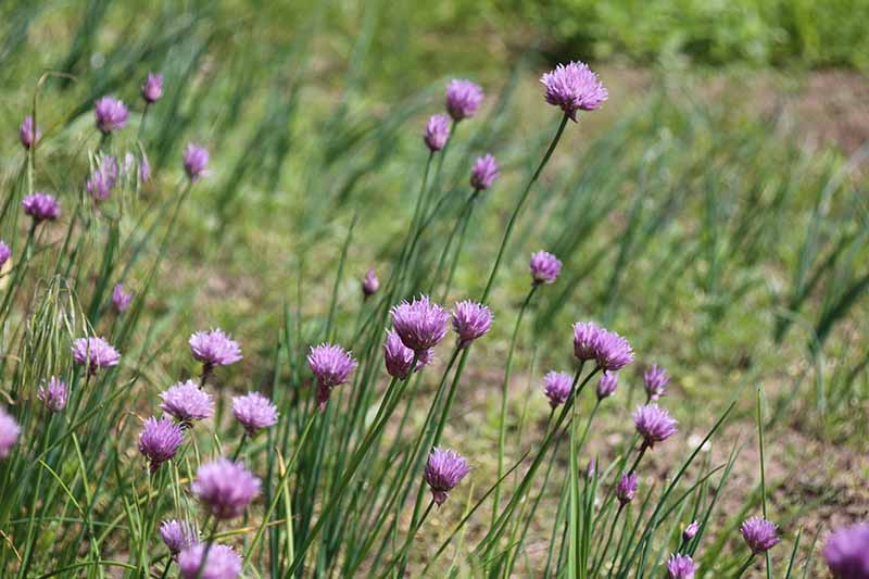 A close up horizontal image of the purple flowers of wild chives growing in a meadow in bright sunshine.