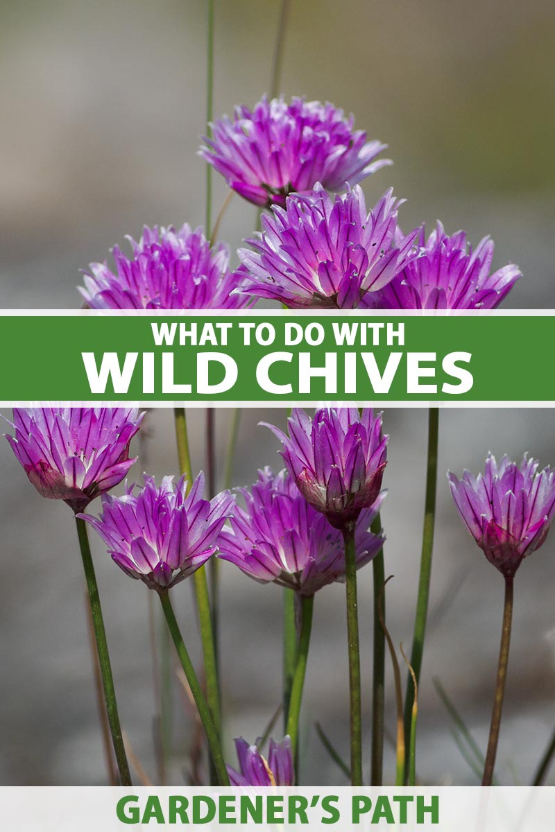 A close up vertical image of the purple flowers of wild chives pictured on a soft focus background. To the center and bottom of the frame is green and white printed text.