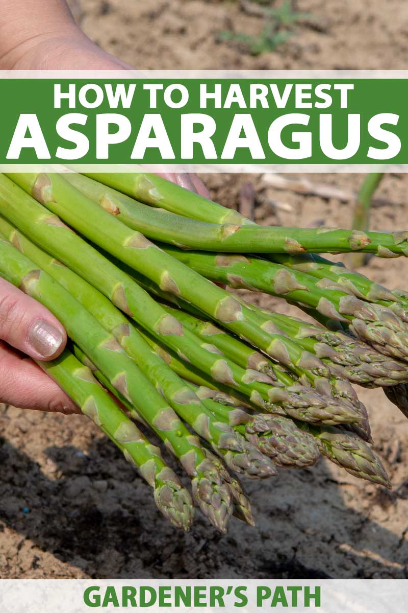 A close up vertical image of hands from the left of the frame holding freshly harvested asparagus spears. To the top and bottom of the frame is green and white printed text.