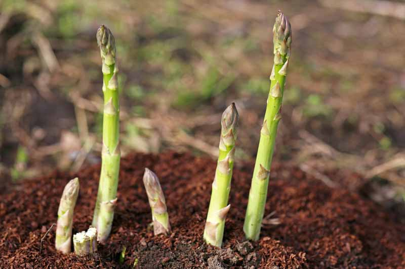 A close up horizontal image of asparagus spears ready to harvest growing in the garden pictured on a soft focus background.