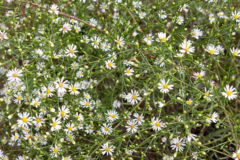 A close up horizontal image of serpentine aster (Symphyotrichum depauperatum) growing in the garden.