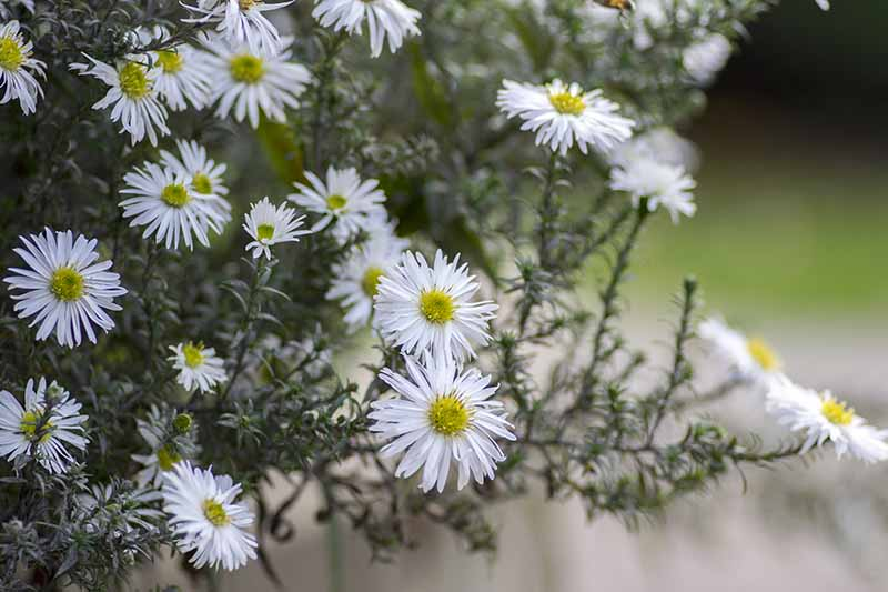 A close up horizontal image of white asters pictured on a soft focus background.