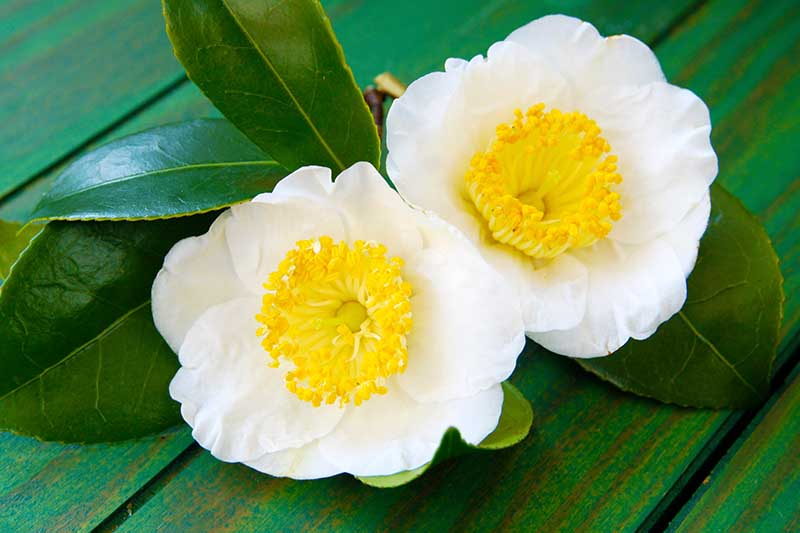 A close up horizontal image of two white flowers with yellow centers set on a green wooden surface.