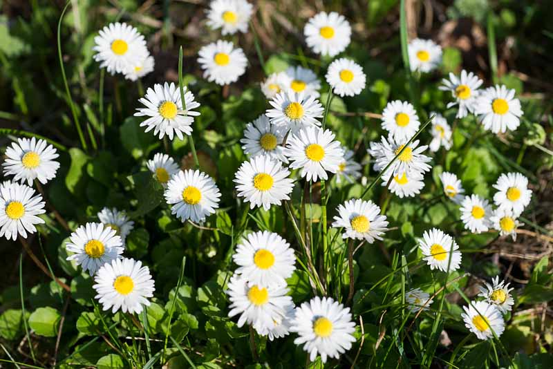 A close up horizontal image of bright English daisies (Bellis perennis) growing in a lawn pictured in light sunshine.
