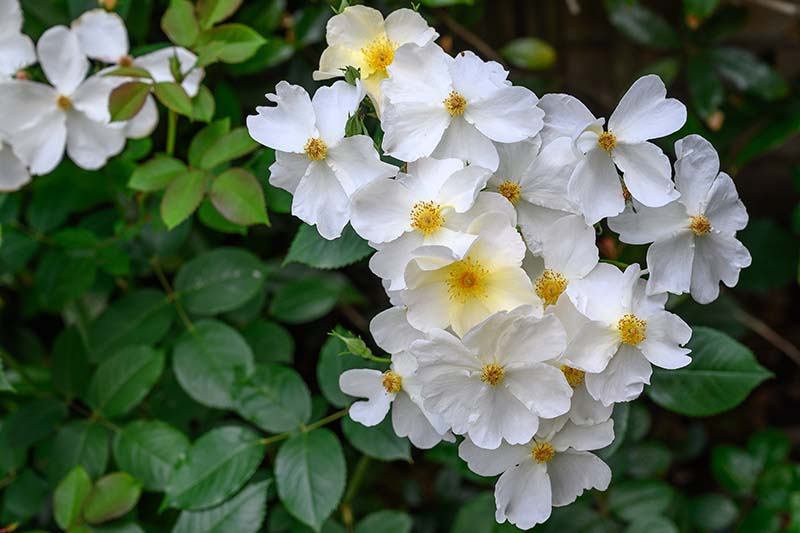 A close up horizontal image of white single petaled English roses growing in the garden with foliage in soft focus in the background.