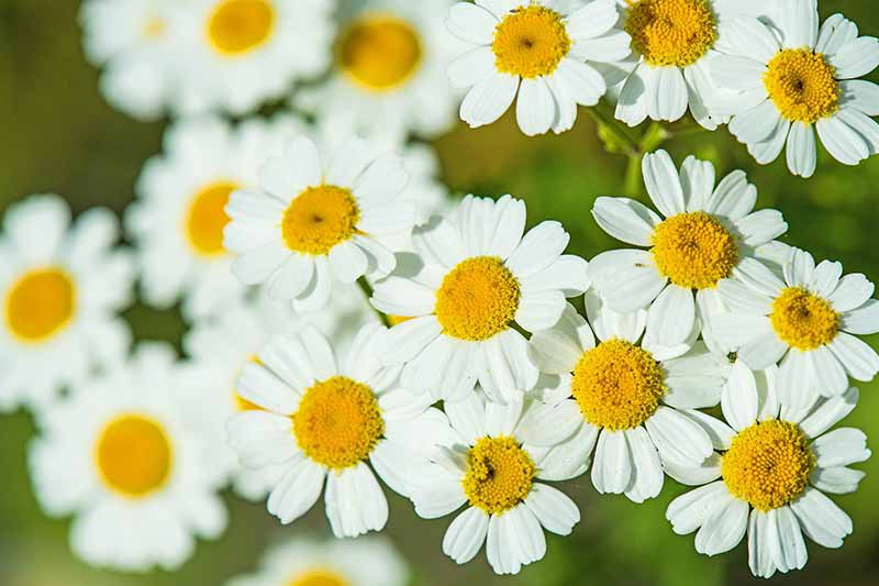 A close up horizontal image of Tanacetum parthenium flowers growing in the garden.