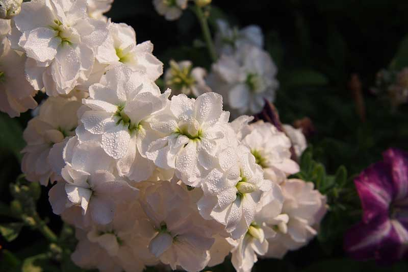 A close up horizontal image of white Matthiola incana flowers growing in the garden pictured on a soft focus background.