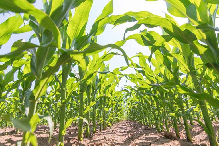 A close up horizontal image of rows of sweetcorn growing in a field pictured on a blue sky background.