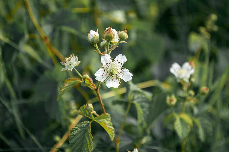 A close up horizontal image of the small white flowers of Rubus ulmifolius growing wild pictured on a soft focus background.