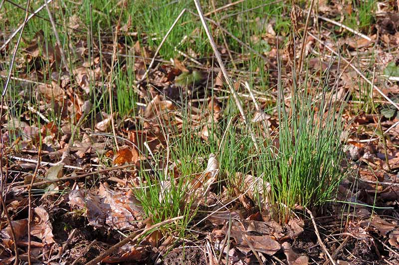 A close up horizontal image of chives growing wild surrounded by fallen leaves.