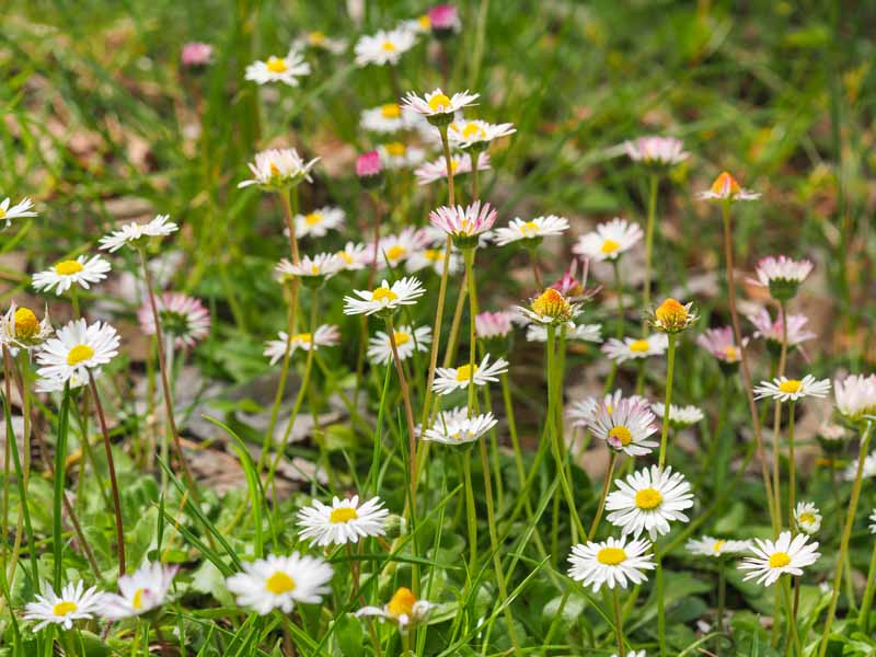 A close up horizontal image of white English daisies (Bellis perennis) growing wild in a meadow.
