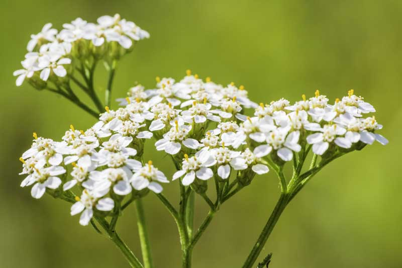 Close up of the white flower clusters of yarrow plant.