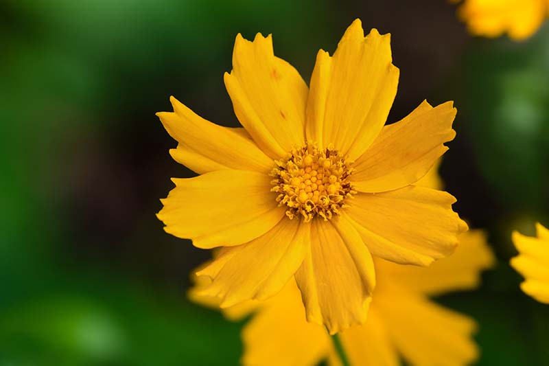 A close up horizontal image of bright yellow coreopsis flower growing in the garden pictured on a green soft focus background.