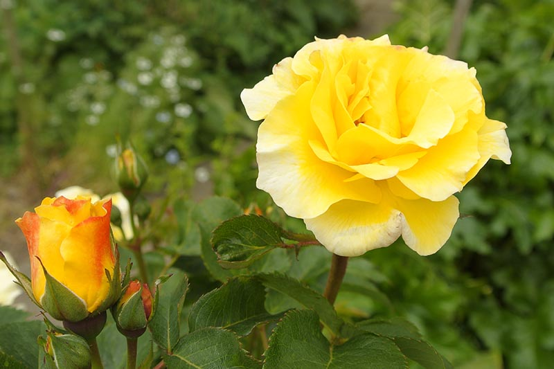 A close up horizontal image of a bright yellow shrub rose growing in the garden.