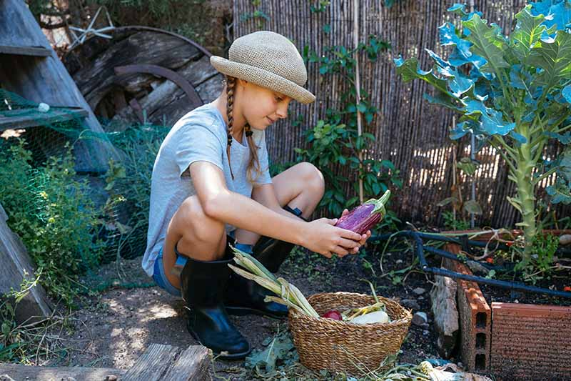 A close up horizontal image of a young gardener inspecting a freshly harvested brinjal from the garden.