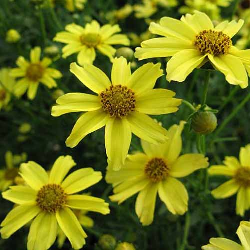 A close up square image of bright yellow 'Zagreb' flowers growing in the garden pictured on a soft focus background.