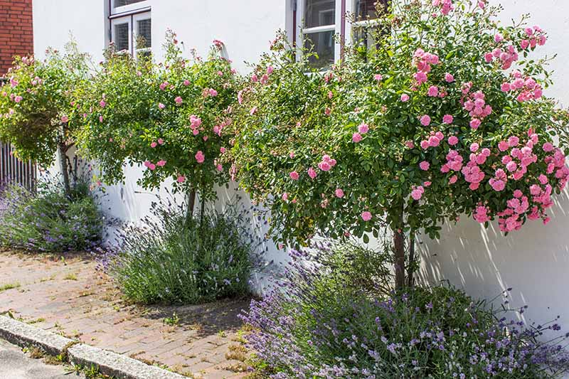 Tips for Growing Fabulous Tree Roses