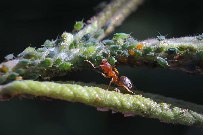 A close up horizontal image of an ant herding aphids on the stem of a plant pictured on a dark background.