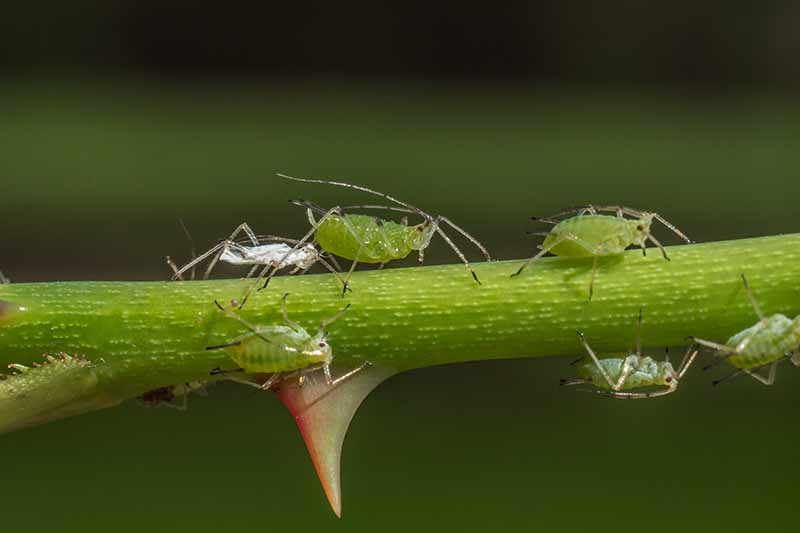 A close up horizontal image of aphids infesting a branch of a rose shrub pictured on a soft focus background.