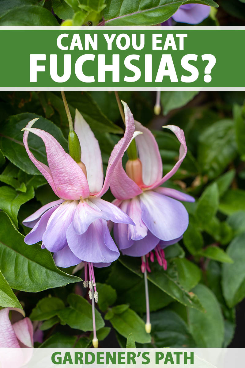 A close up vertical image of light pink and purple fuchsia flowers pictured with foliage in soft focus in the background. To the top and bottom of the frame is green and white printed text.