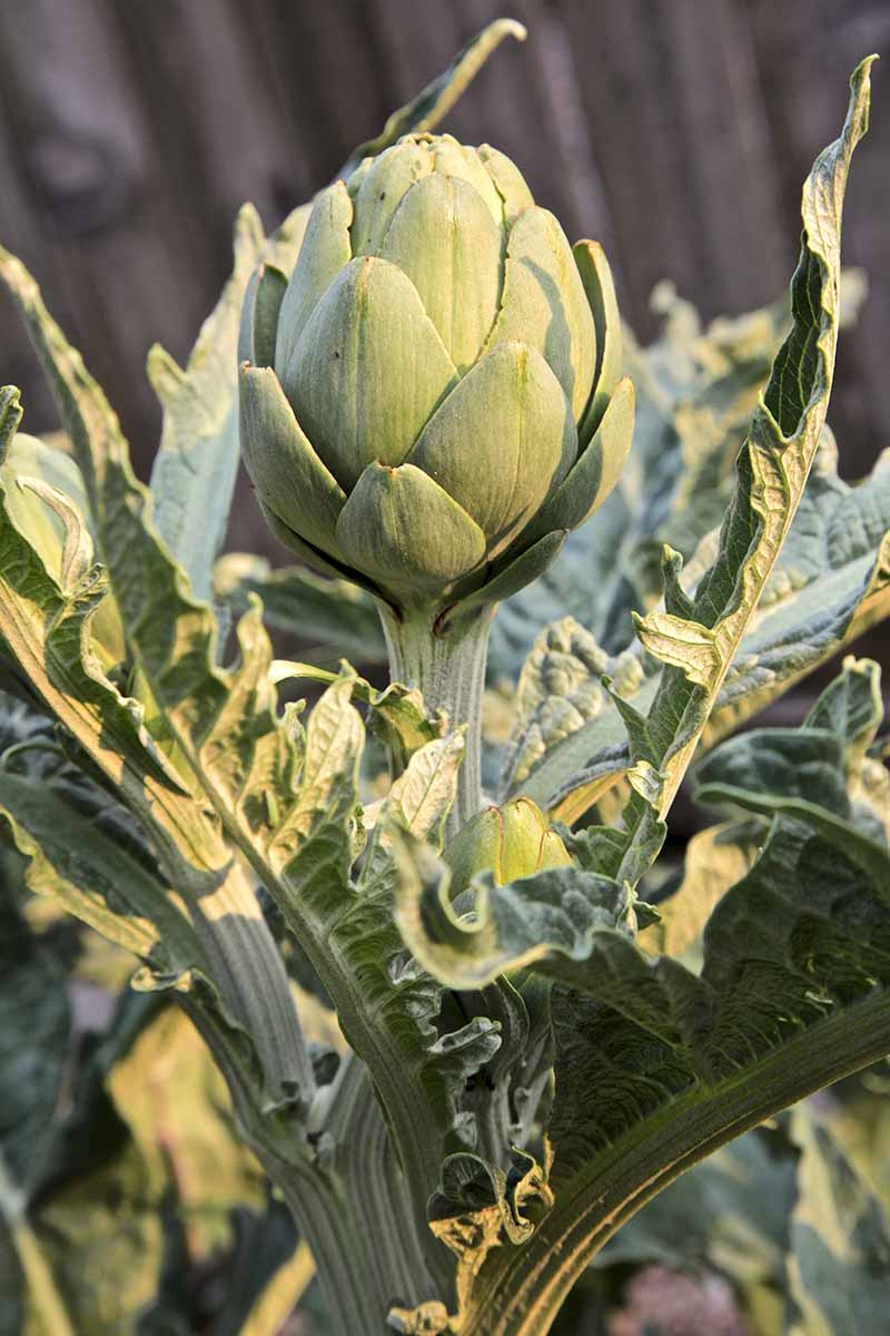 A close up vertical image of a globe artichoke growing in the garden pictured in light sunshine.