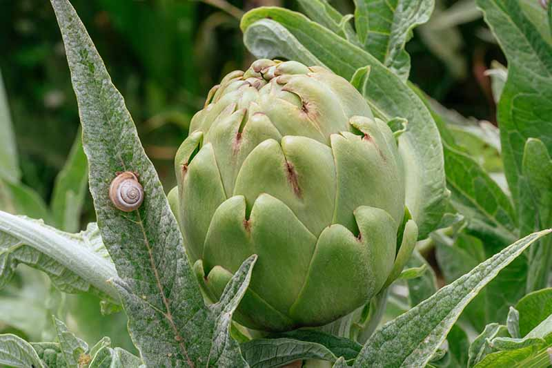 A close up horizontal image of a globe artichoke growing in the garden with a snail on the foliage.