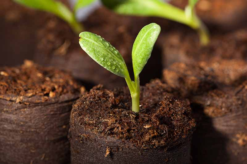 A close up horizontal image of a seedling growing in a biodegradable pot.