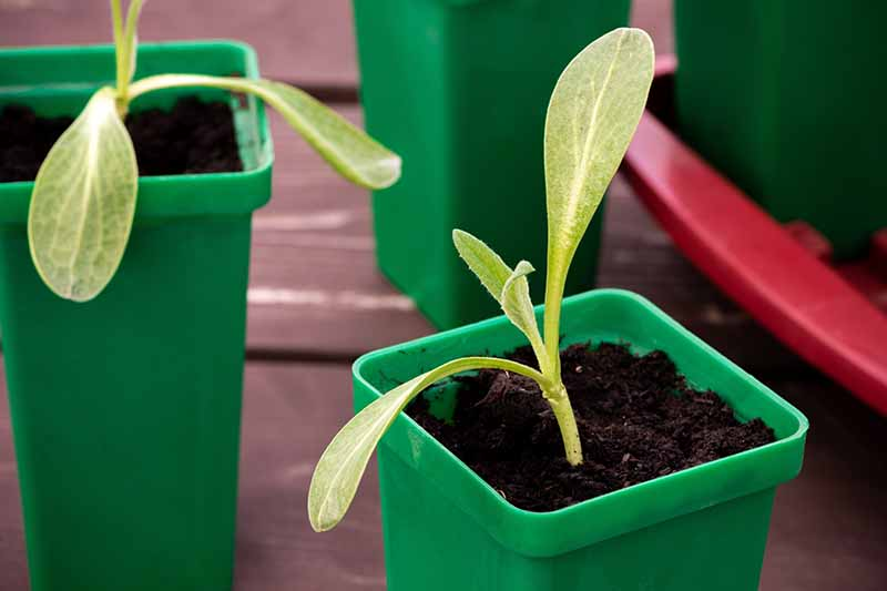 A close up horizontal image of seedlings growing in green plastic pots.