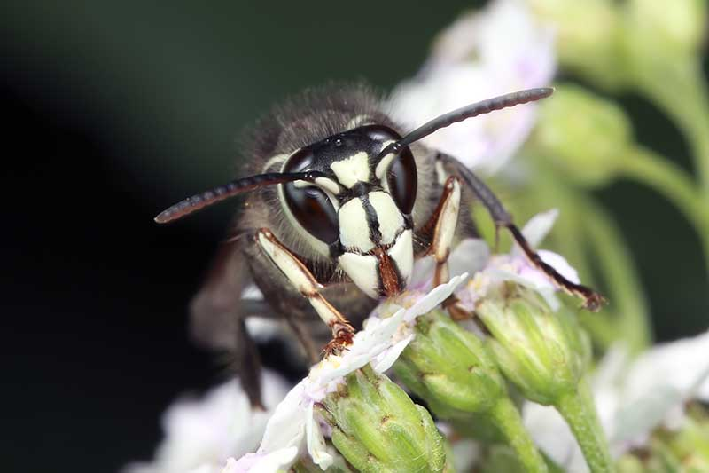 A close up horizontal image of a scary looking baldfaced hornet sitting on a flower pictured on a soft focus background.