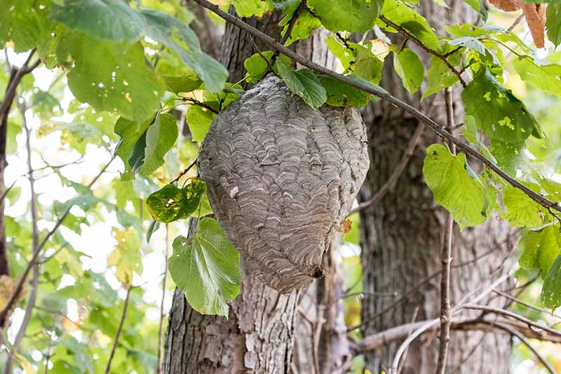 A close up horizontal image of a hornet's nest hanging from a tree.