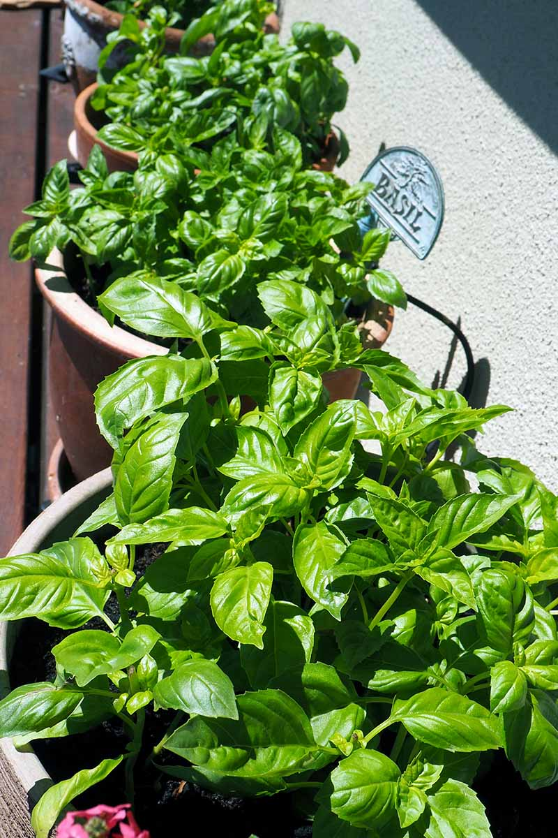 A close up vertical image of basil growing in pots on a deck with a residence in the background.