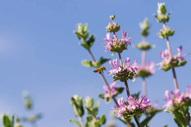 A close up horizontal image of a bee landing on a purple Salvia clevelandii flower pictured on a blue sky background.