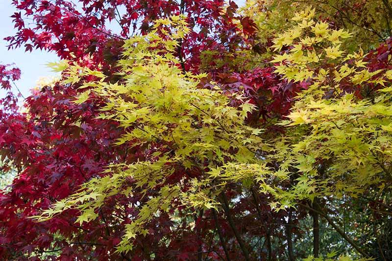 A close up horizontal image of Acer palmatum 'Beni Kawa' growing in the garden.